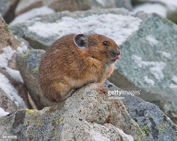 pika with tongue sticking out - pika stock pictures, royalty-free photos & images