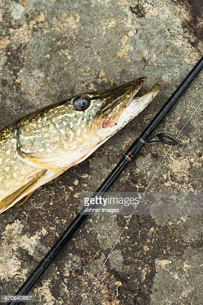 pike and fishing rod, close-up - hecht stock-fotos und bilder