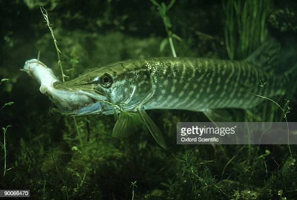 pike: esox lucius  eating pike - northern pike stock photos and pictures