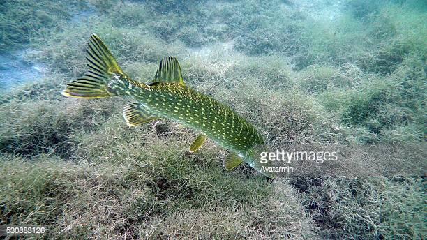 pike fish at neufelder lake - austria - hecht stock-fotos und bilder