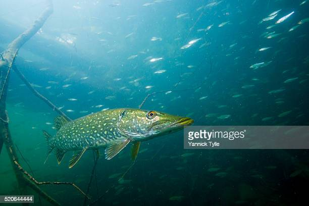 pike fish underwater - pike fish stock pictures, royalty-free photos & images