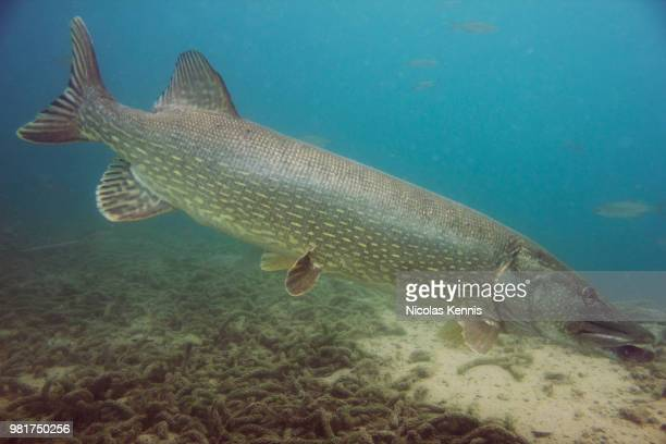 pike floreffe - belgium - northern pike stock photos and pictures