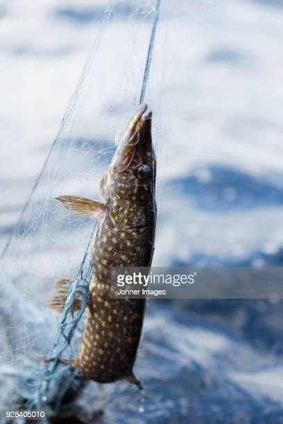 pike in fishing net - hecht stock-fotos und bilder