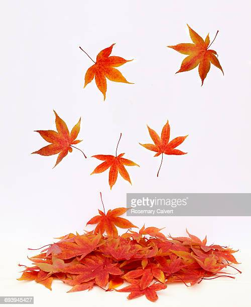 Pile of autumnal maple leaves with leaves falling.