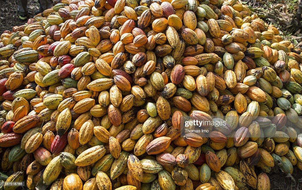 Cocoa pods at a plantation in Mondoni, Cameroon : News Photo