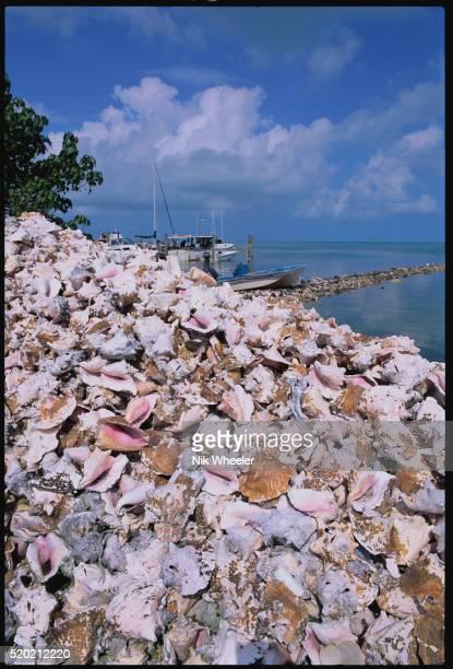 pile of conch shells - marina wheeler foto e immagini stock