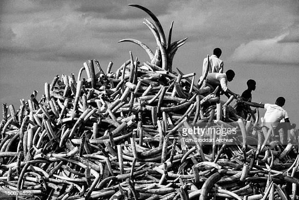 Pile of ivory confiscated from poachers by Kenyan Game Wardens valued at 3 million dollars, July 1989.