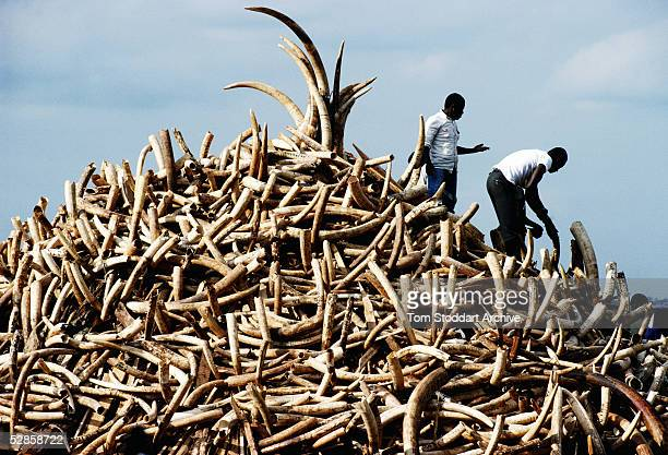 A pile of ivory confiscated from poachers by Kenyan Game Wardens valued at $3 million