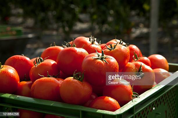 a pile of organic tomatoes in a crate - tomato stock pictures, royalty-free photos & images