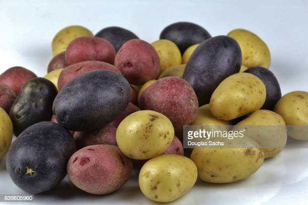 Pile of Potatoes of different colors and varieties (Solanum tuberosum)
