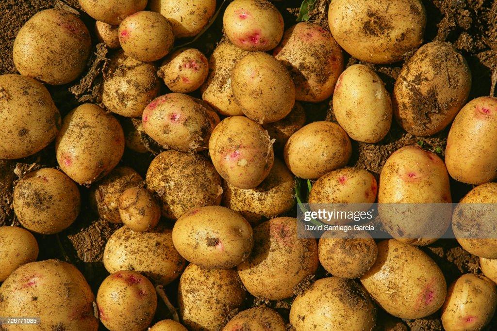 A Pile Of Potatoes On Farm In The Las Vegas Area Of Abona : Stock Photo