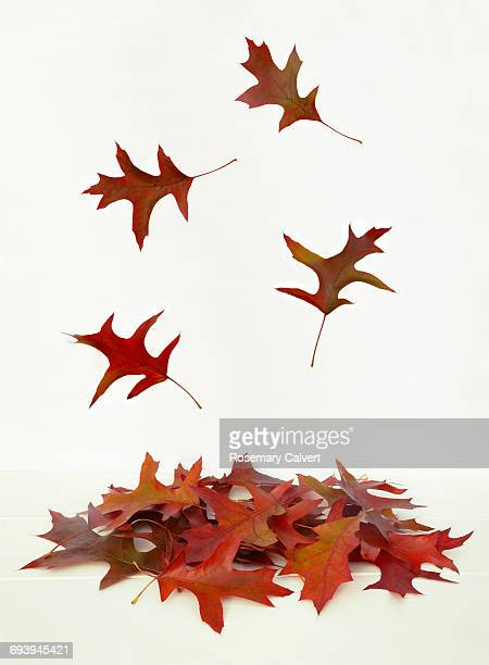Pile of Red Oak leaves with leaves falling.