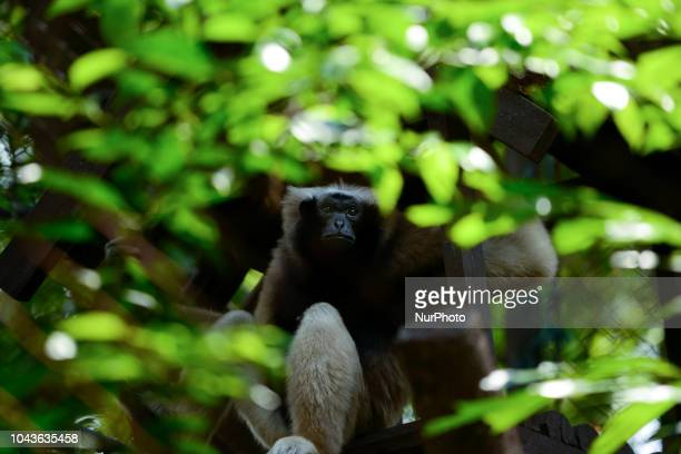 Pileated gibbon inside a cage at Dusit Zoo in Bangkok Thailand 30 September 2018 Dusit Zoo is Thailand's first public zoo opened 80 years ago on 18...