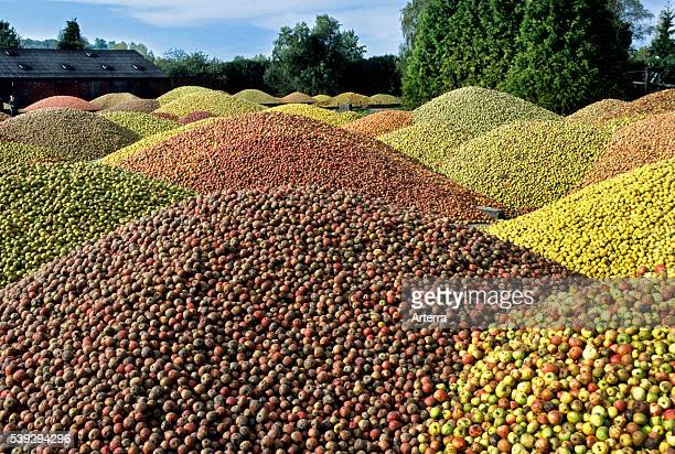 Piles of apples harvested for cider production Normandy France
