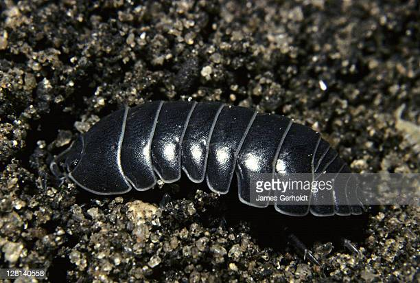 pill bug, armadillidiidae, dakota county, minnesota, usa - potato bug stock pictures, royalty-free photos & images