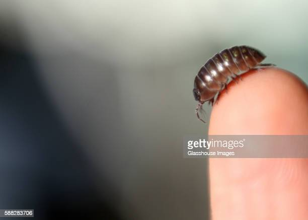 pill bug on finger - potato bug stock pictures, royalty-free photos & images