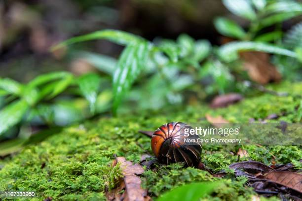 pill millipedes - oniscomorpha in crocker range national park - potato bug stock pictures, royalty-free photos & images