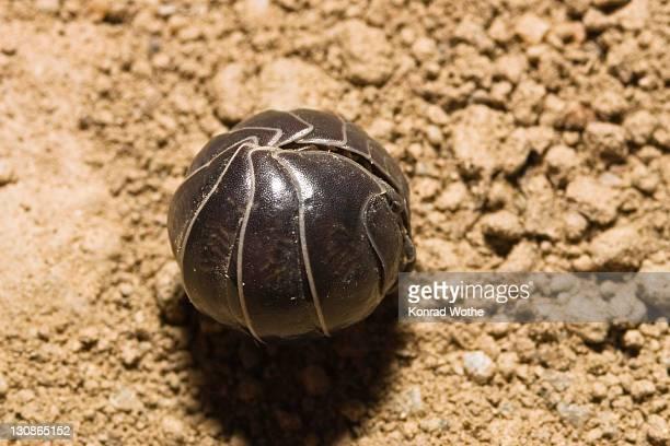 pill woodlouse (armadillidium vulgare) curled up, greece, europe - potato bug stock pictures, royalty-free photos & images