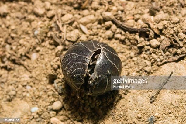 pill woodlouse (armadillidium vulgare) curling up, greece, europe - potato bug stock pictures, royalty-free photos & images