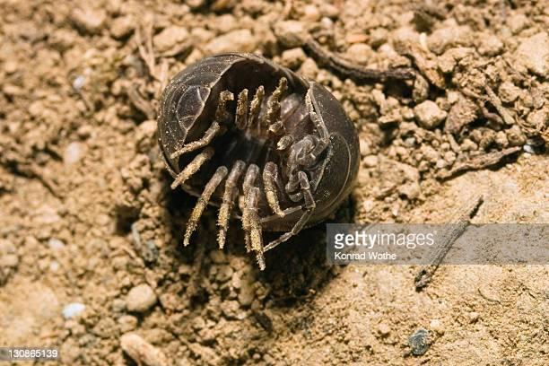 pill woodlouse (armadillidium vulgare) uncurling, greece, europe - potato bug stock pictures, royalty-free photos & images
