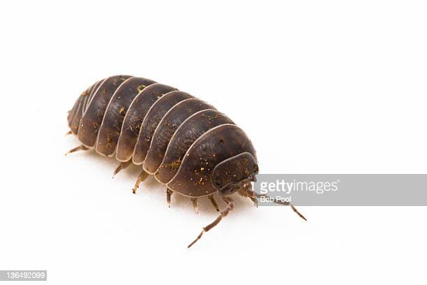 pillbug or sow bug - potato bug stock pictures, royalty-free photos & images