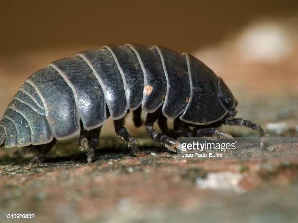 pillbug side view macro - potato bug stock pictures, royalty-free photos & images