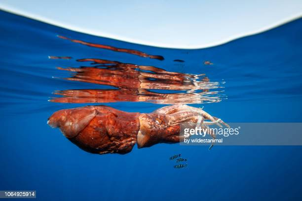 pilot fish seeking shelter under an almost dead giant squid floating near the surface. the squid appears to have survived an attack by a sperm whale.  pelagos sanctuary, mediterranean sea, italy, - giant squid stock pictures, royalty-free photos & images