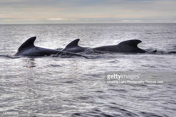 pilot whale pod - cape breton island stock pictures, royalty-free photos & images