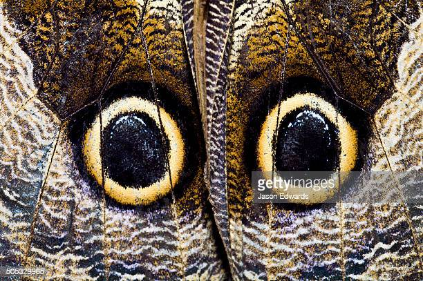 the wing markings of an owl butterfly look like giant eyes to predators looking for an easy meal. - disguise stock pictures, royalty-free photos & images