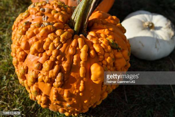 pimply orange pumpkin covered in bumps and white squash in outdoor market prince edward county at fall harvest - contea di prince edward ontario foto e immagini stock