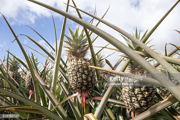 Pinapple, Maui, Hawaii