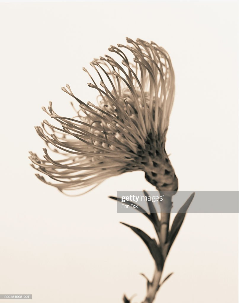 Pincushion Flower Head On White Background Stock Photo Getty Images