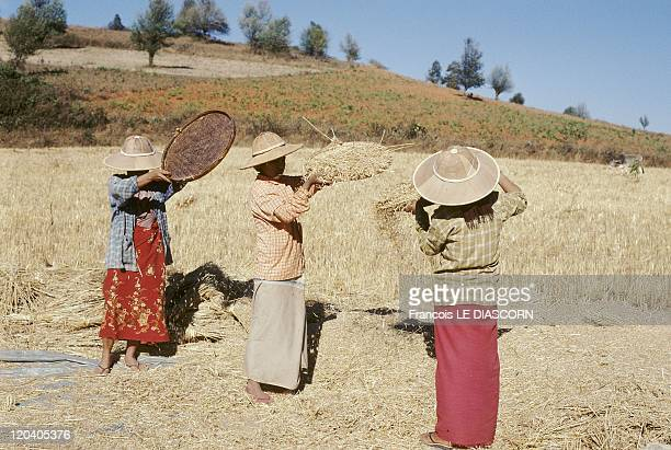 Pindaya Myanmar Women sifting the grains of wheat after harvesting it near Pindaya Shan state
