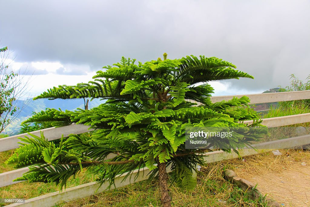 Pine at Phu Tub Berk. : Stock Photo