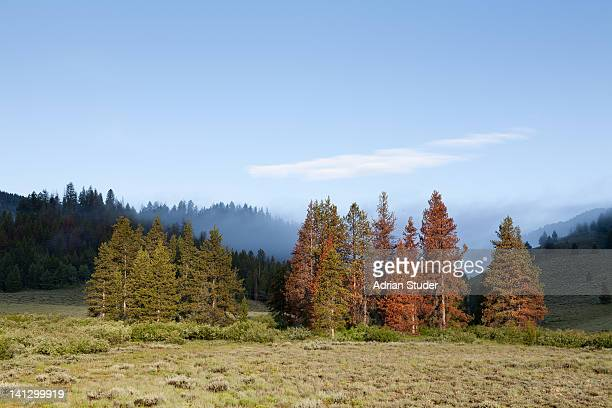 pine beetle damage - ketchum idaho stock photos and pictures