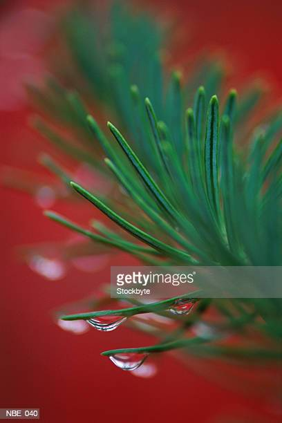 Pine branch covered with dew