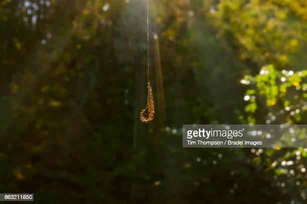 Pine Branch in Spider Web