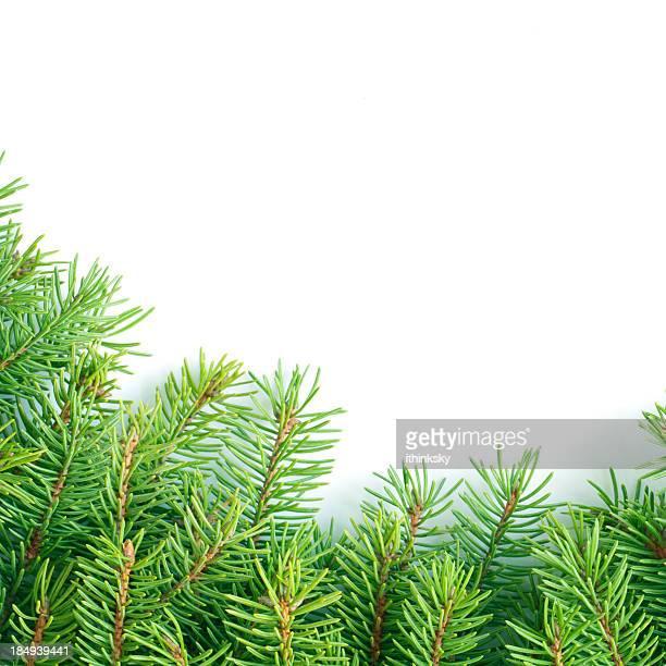 pine branch - barrväxter bildbanksfoton och bilder