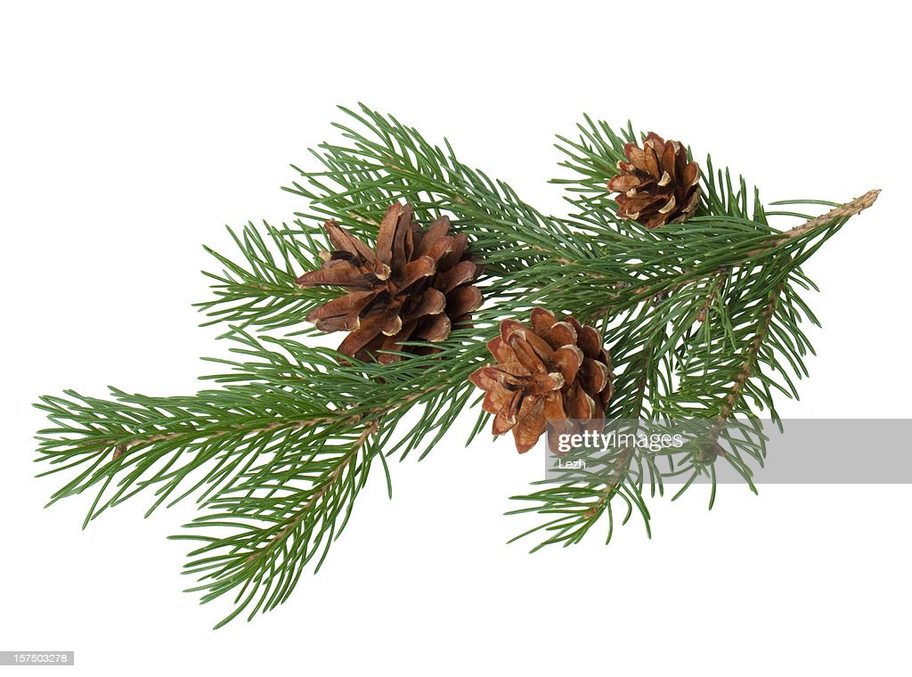 Pine branch with cone : Stock Photo
