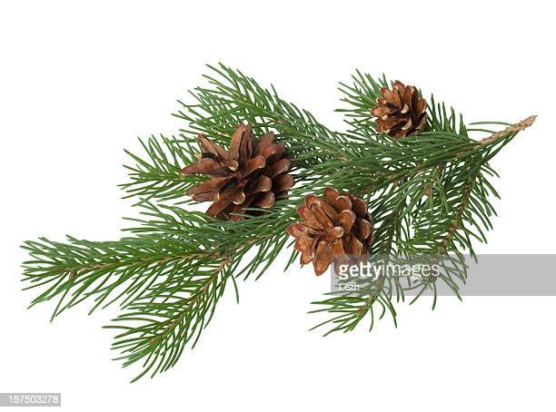 pine branch with cone - spruce tree stock pictures, royalty-free photos & images