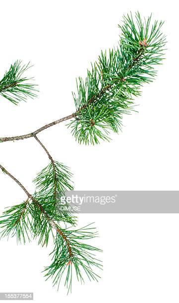 rami di pino - conifera foto e immagini stock