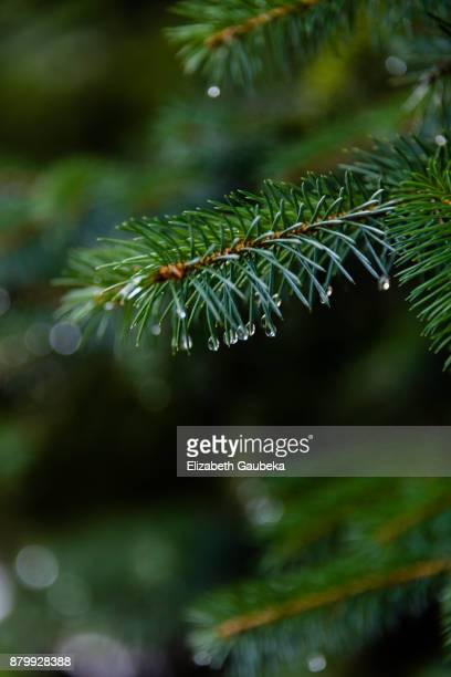 pine branches with water drops - whistler british columbia stock pictures, royalty-free photos & images