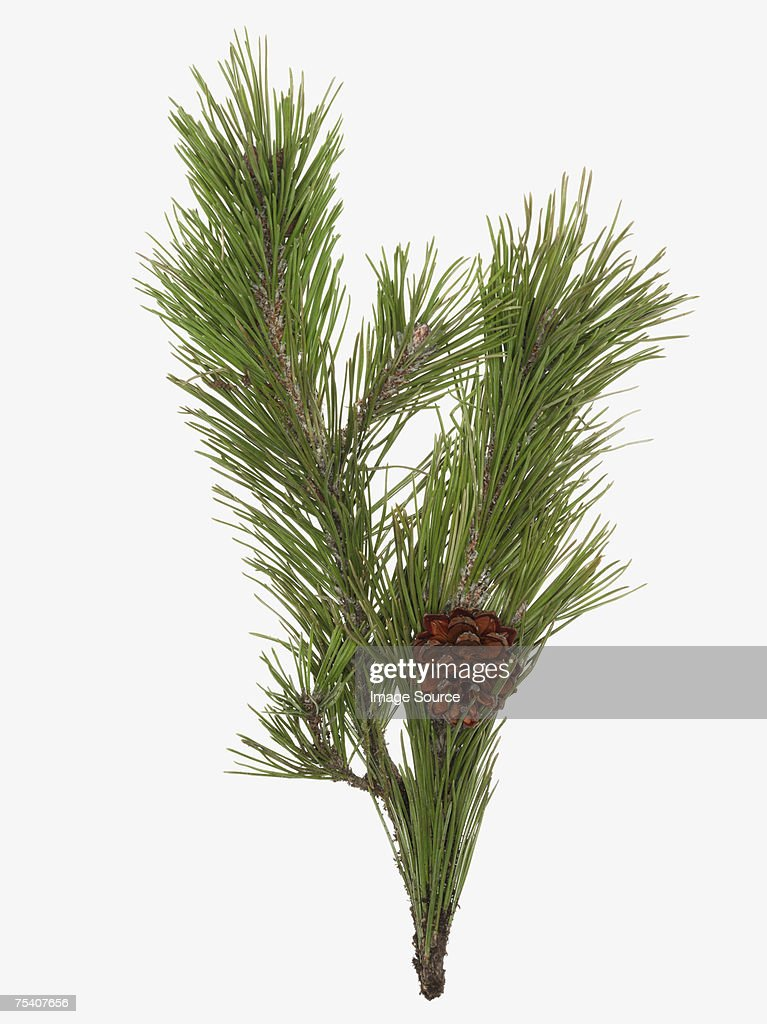 Pine cone and branch : Stock Photo