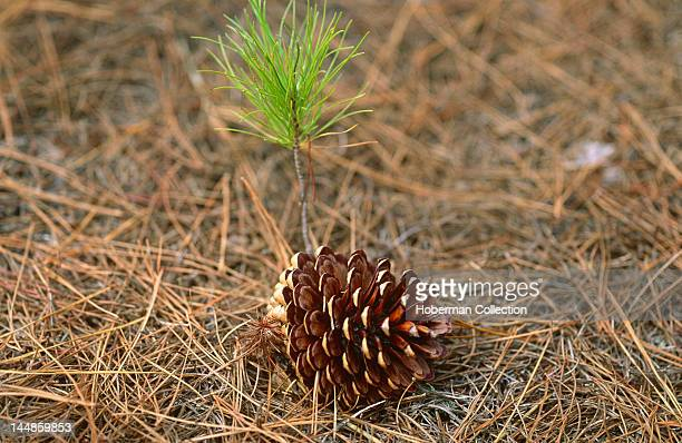 Pine Cone and Sapling Cecilia Forest Cape Town South Africa