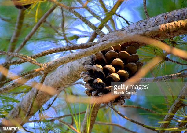 Pine Cone Growing On Tree