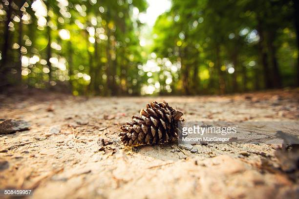 Pine cone laying on a walking path