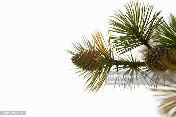 pine cone on branch in studio - pinecone stock pictures, royalty-free photos & images