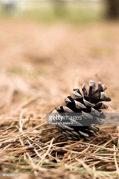 Pine Cone on the Needles Ground