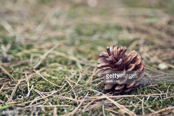 pine cone - kegel stockfoto's en -beelden
