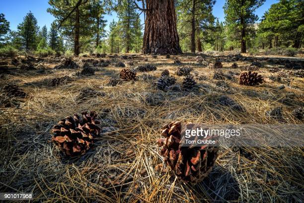 pine cones - tom grubbe stock pictures, royalty-free photos & images